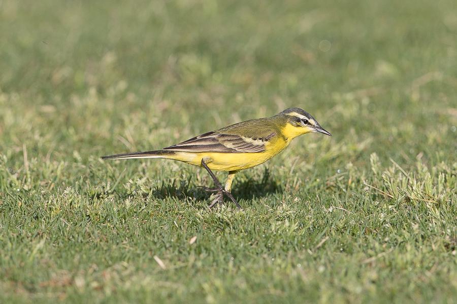 Beema Yellow Wagtail – Deffi Park