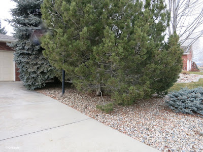 pines and junipers in yard