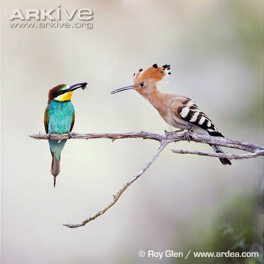 interactions between Coraciiformes european bee eater