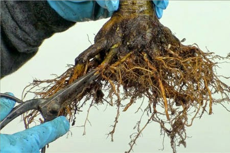 Re-potting your Bonsai - Root pruning is one of the most important things because the roots may start rotting at some point.