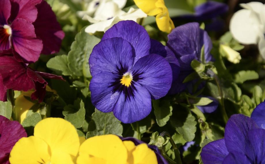 Beau Monde Landscape Florist Llc Frost Tolerant Flowers Pansies