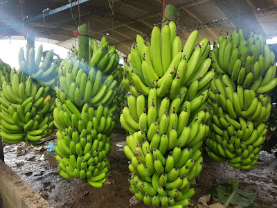 Banana: Conheça a sua história e as Curiosidades sobre essa Fruta
