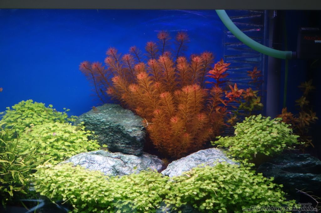 Cây chồn đỏ nổi bật trong hồ thủy sinh