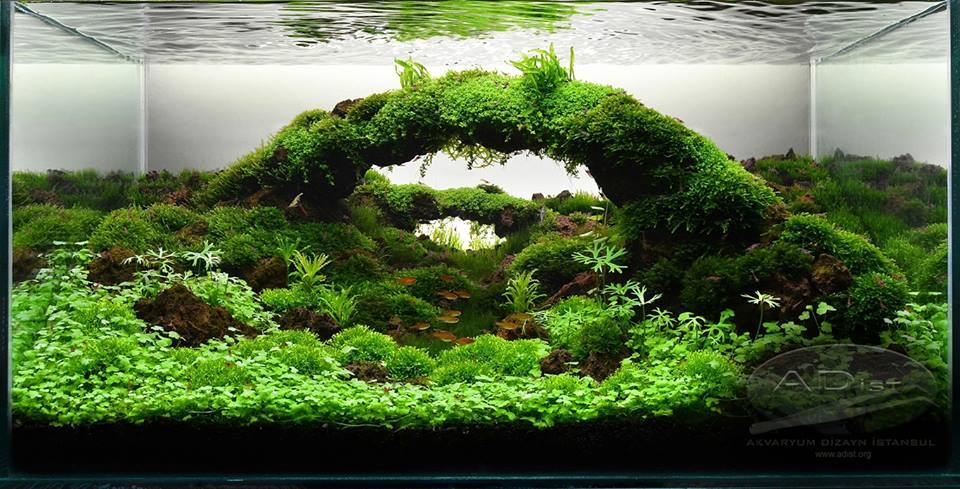Cây thủy sinh rau má hương trong bố cục hồ thủy sinh dạng cầu vòng