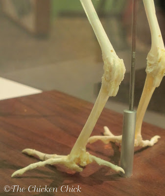 We can see a cortical leg bone in this photo.  Medullary bones of a laying hens are inside cortical bones.