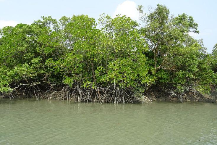 Mengapa Hutan Bakau Dapat Mencegah Terjadinya Abrasi dan Harus Dilestarikan - Dulajar
