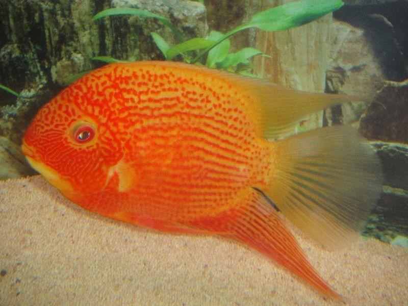 Gambar Ikan Severum (Banded Chidhlid)