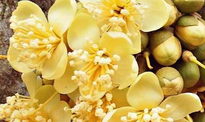Bikin Penasaran Rasa Keripik dari Bunga Durian