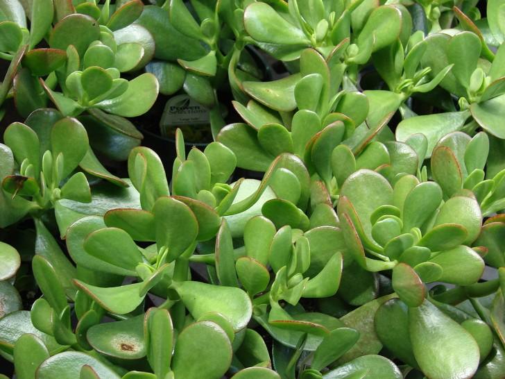 Laut Feng Shui Zimmerpflanzen für positive Energie