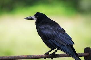 Cara Memelihara Burung Gagak
