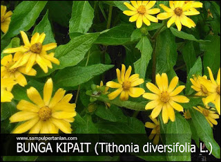 Bunga Kipait atau Kembang bulan (Tithonia diversifolia)