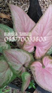 Jual Tanaman Syngonium Pink | Pohon Caladium Syngonium Pink | Jasa Tukang Taman