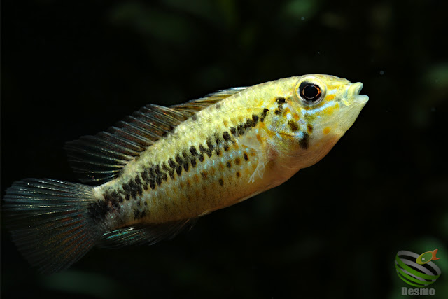 Apistogramma cf. alacrina (Guayas) male