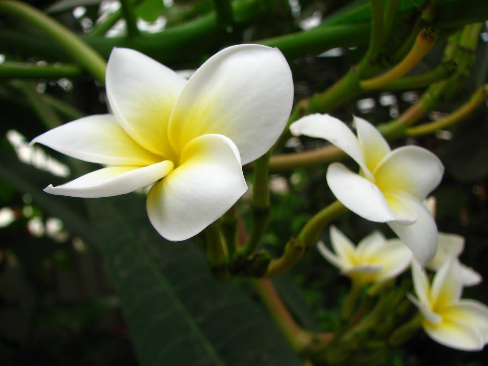 Philippine White Flower Gardening Flower And Vegetables
