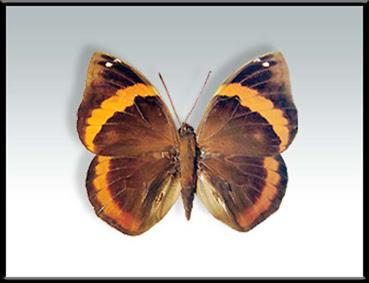 Mariposa duende de las sombras Opsiphanes invirae