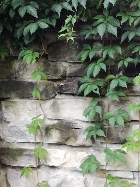 ściana porośnięta winobluszczem
