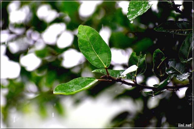 mưa thu tưới mát vườn cây