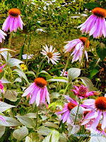 My coneflower garden