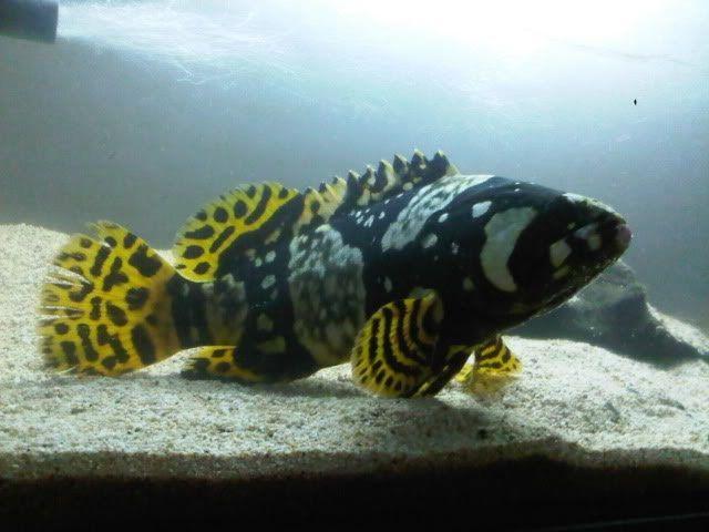 Ikan Predator Cantik