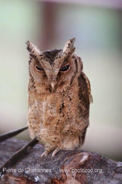Autillo rojizo: Otus rufescens