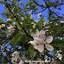 WW : Bunga Pokok Buah Epal