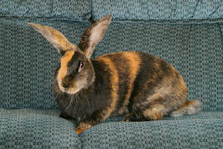 Harlequin Rabbit