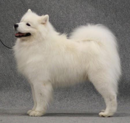 Valkoinen Koirarotu