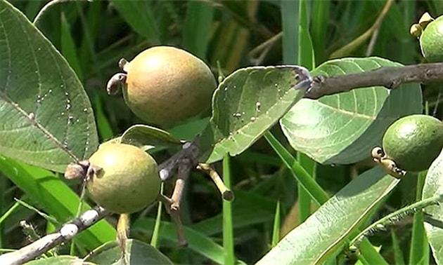Guabiroba (Campomanesia xanthocarpa Berg)