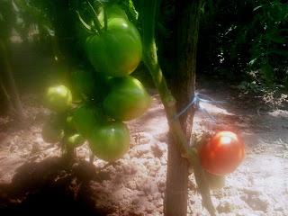 tomate cultivate in camp deschis inima de bou