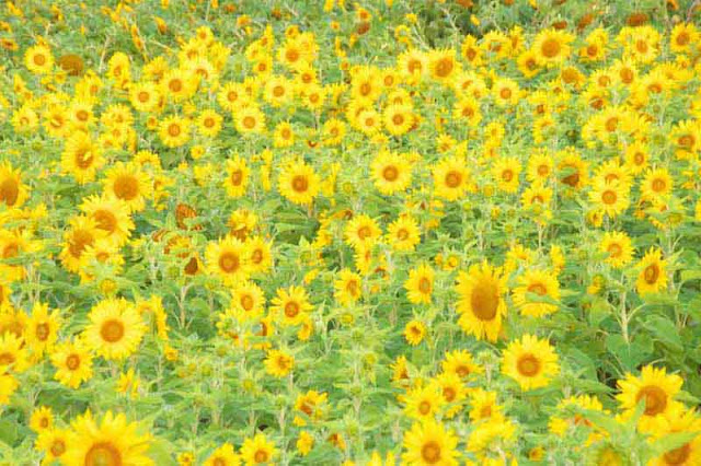 flowers, field, Okinawa, Springtime, Sunflowers
