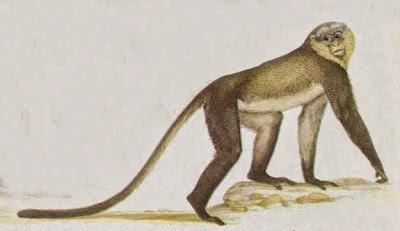 Campbell´s monkey