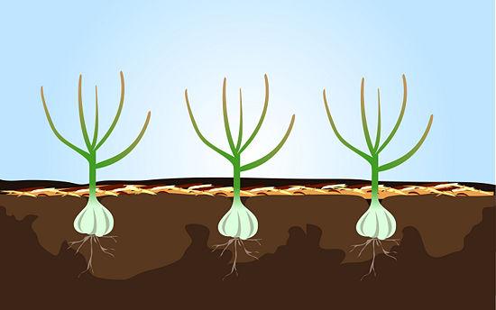 Buenasiembra c mo plantar y cosechar ajo paso a paso for En cuanto tiempo se cosecha la tilapia