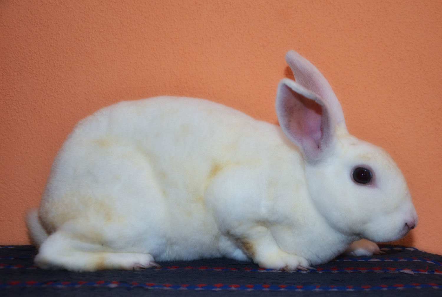 rabbit territory mini rex white