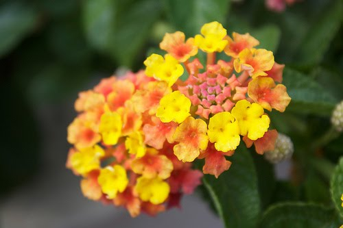 Hardy Lantana Stranges Florists Greenhouses And Garden Centers