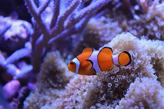 Ikan Nemo: Mengenal Jenis, Perawatan dan Harganya Terbaru