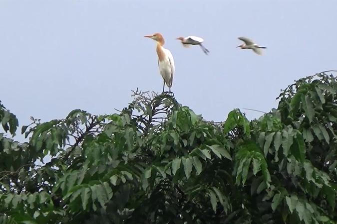 Dlium Cattle egret (Bubulcus ibis)