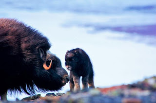 This is a mother muskox with her calf. (Credit: Joel Berger) Click to Enlarge.