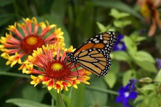 Photo de Papillon : Monarque - Danaus plexippus