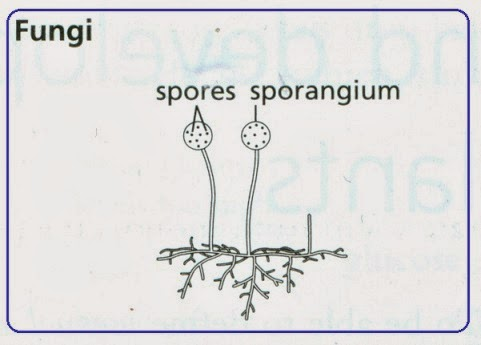 Asexual reproduction in fungi igcse