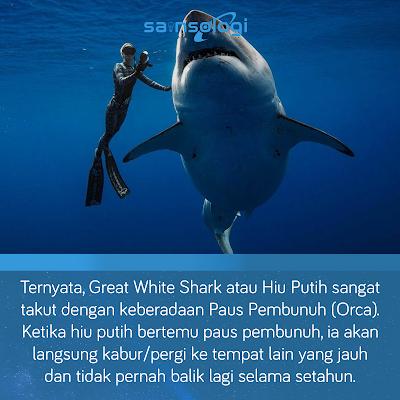 hiu putih besar