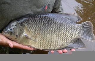 cara budidaya ikan gurame agar cepat besar,pakan ikan gurame agar cepat besar,pakan ikan gurame di kolam terpal,pakan ikan gurame yang bagus,