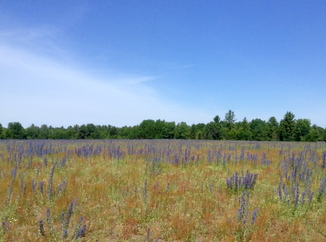 field of wildflowers in the Ottawa Valley