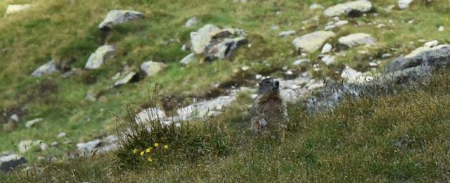 Marmotte dans les alpages