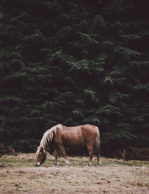 Horse Grazing In The Shade Of Conifers HD Wallpaper
