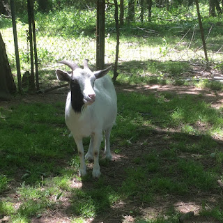 2019 goat kidding schedule, kidding schedule, goat farm, baby goats,