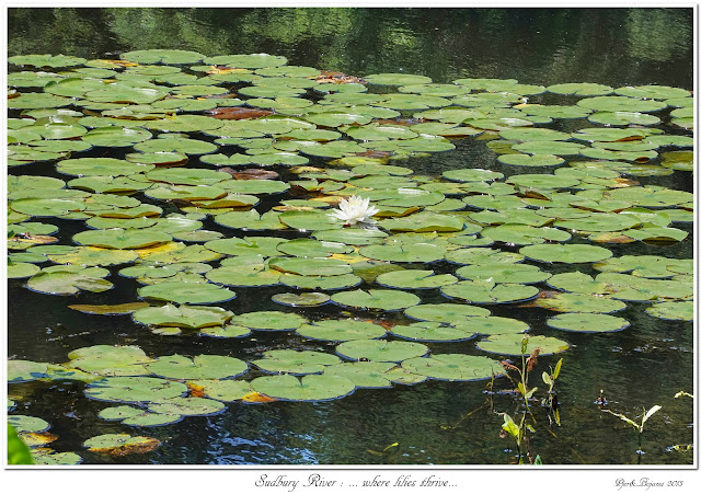 Sudbury River: ... where lilies thrive...