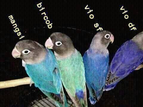 perbedaan lovebird violet sf dan df beserta harganya