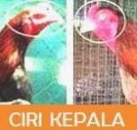 ayam bangkok kepala bagus pinang
