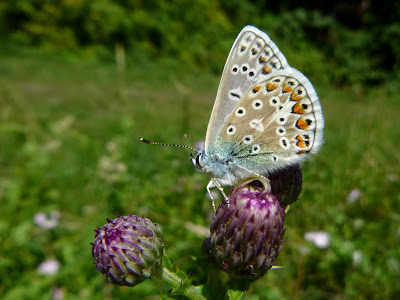 Common Blue (Closed Wing)