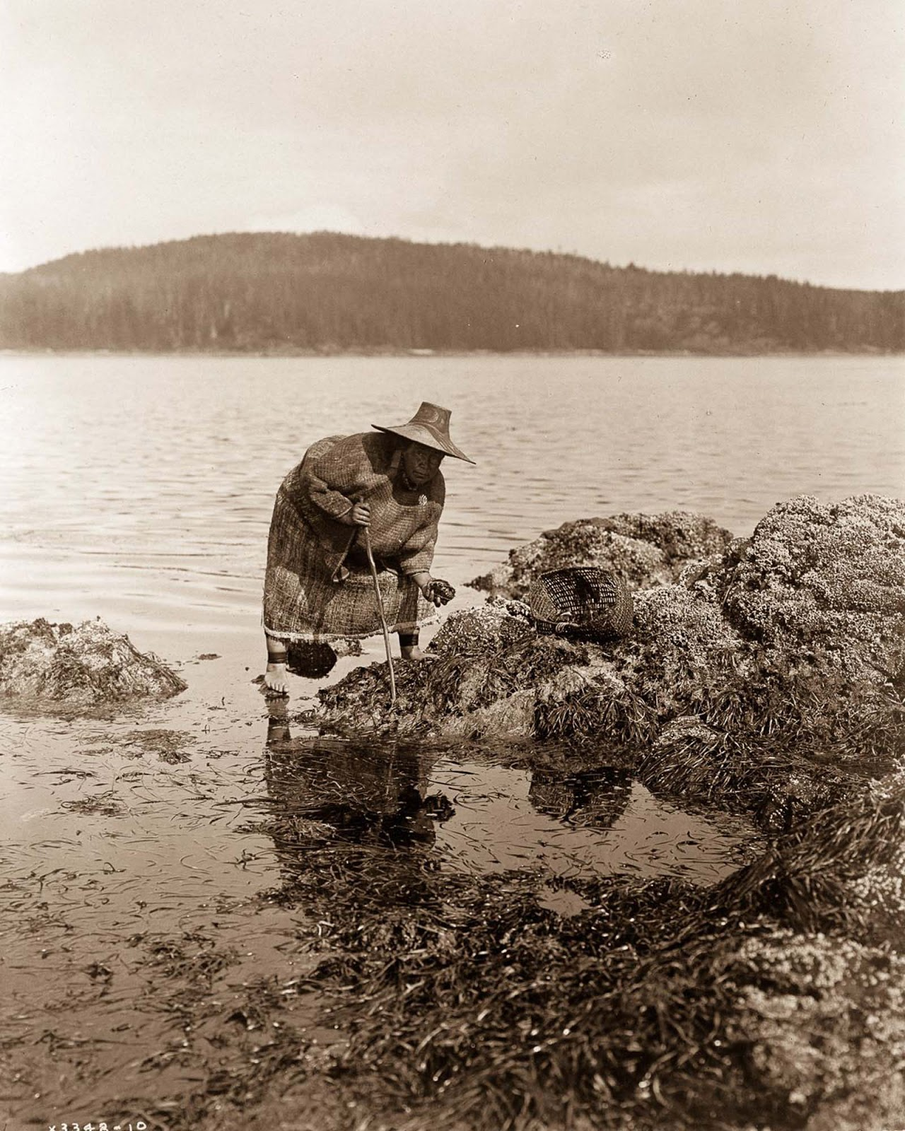 A Kwakiutl gatherer hunts abalones in Washington. 1910.